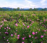 Долина Роз - весенний фестиваль роз